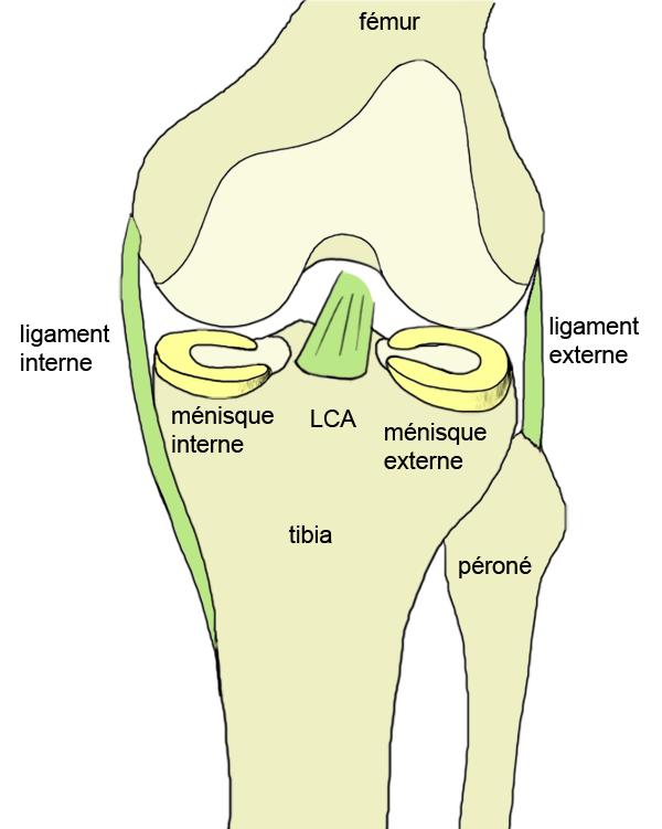 anatomía - RODILLA - generalidad - Anatomía de la rodilla, el ...